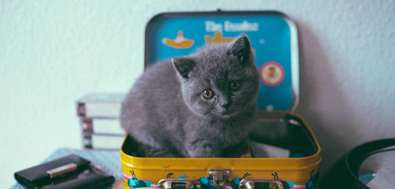 Kleine graue Katze sitzt in einem Koffer