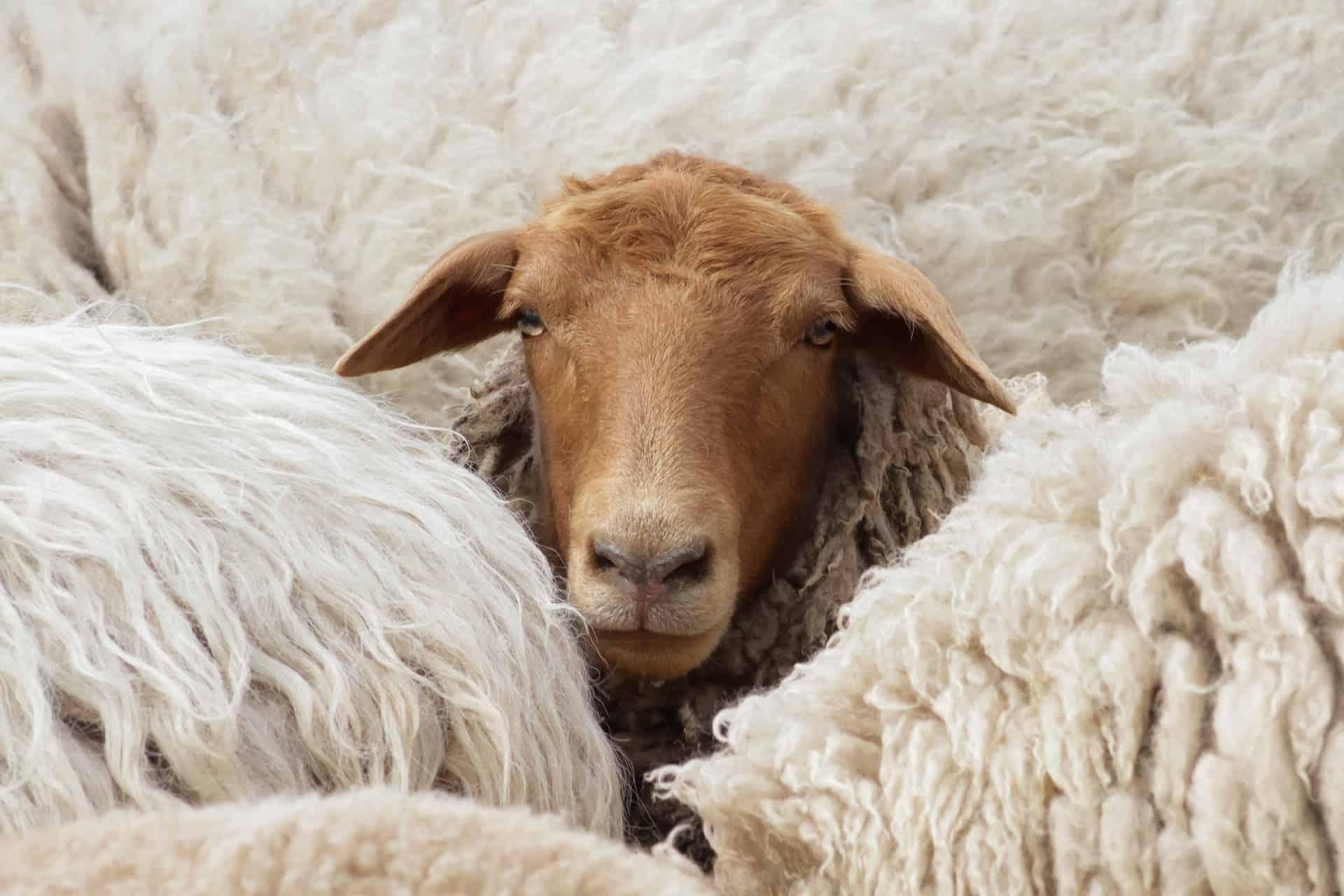 Ein dunkles Schaf inmitten von Weißen
