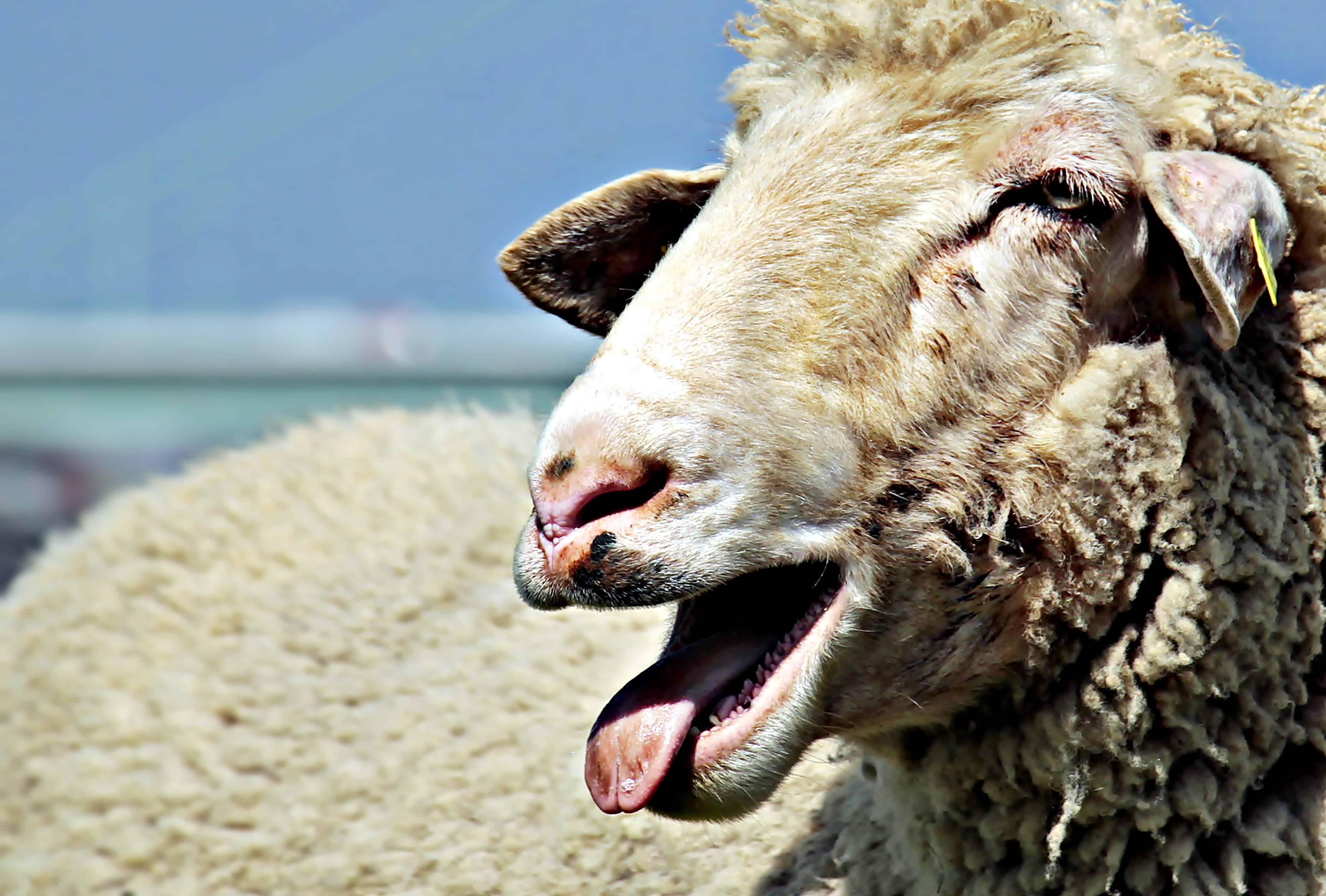 Schaf mit offenem Mund