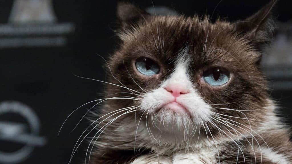 Grumpy Cat, eine Katze
