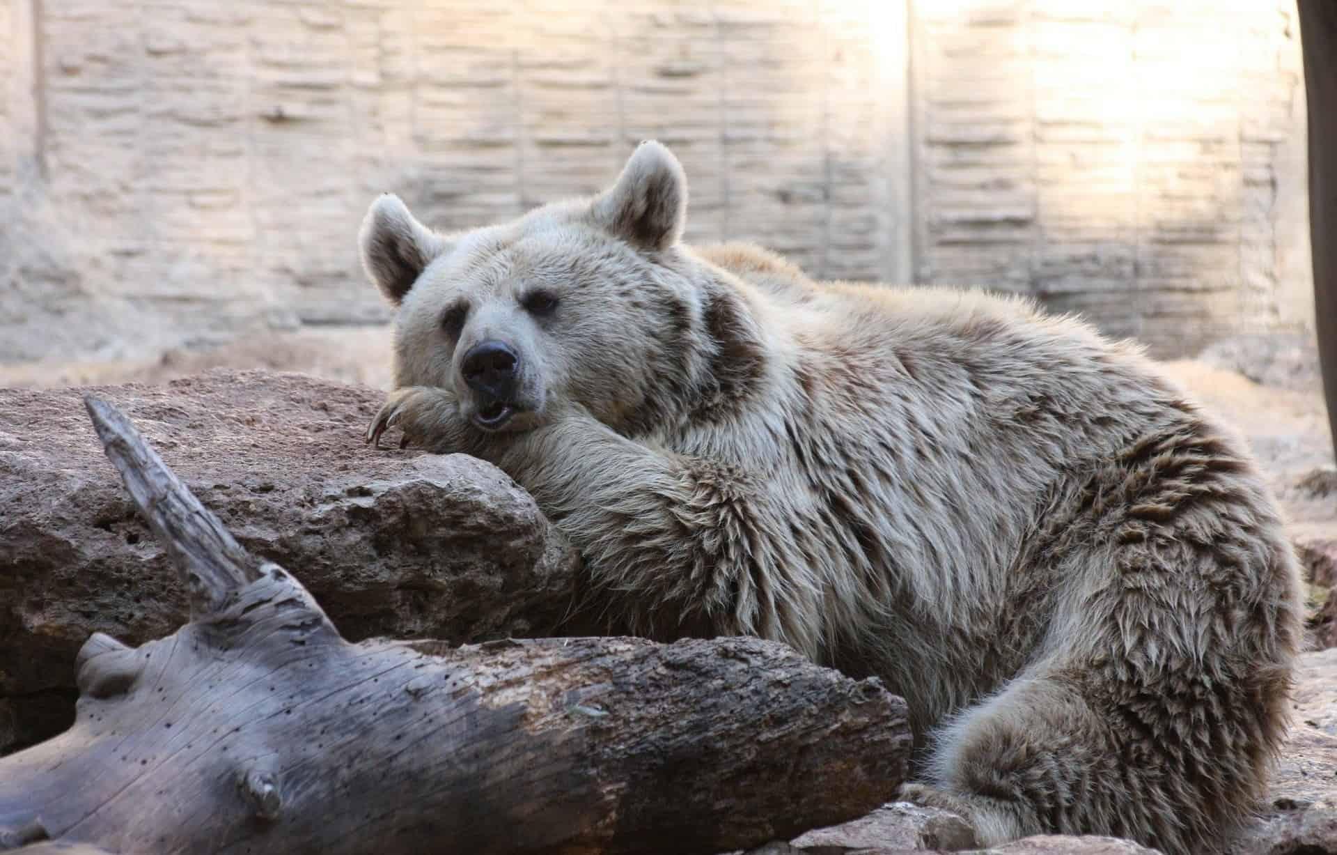 Schlafender, brauner Bär