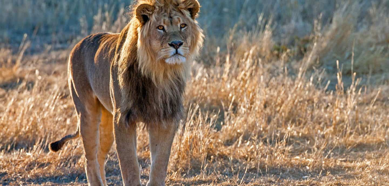 Ein Löwe in freier Wildbahn. Foto: picture alliance / blickwinkel/ McPHOTO/ J. Bitzer