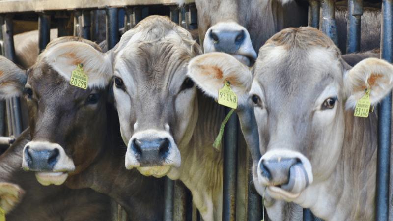 Kühe stehen nebeneinander in einem Stall und gucken raus.