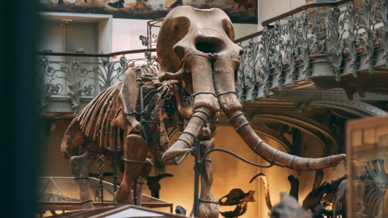 Mammutskelett in einem Museum