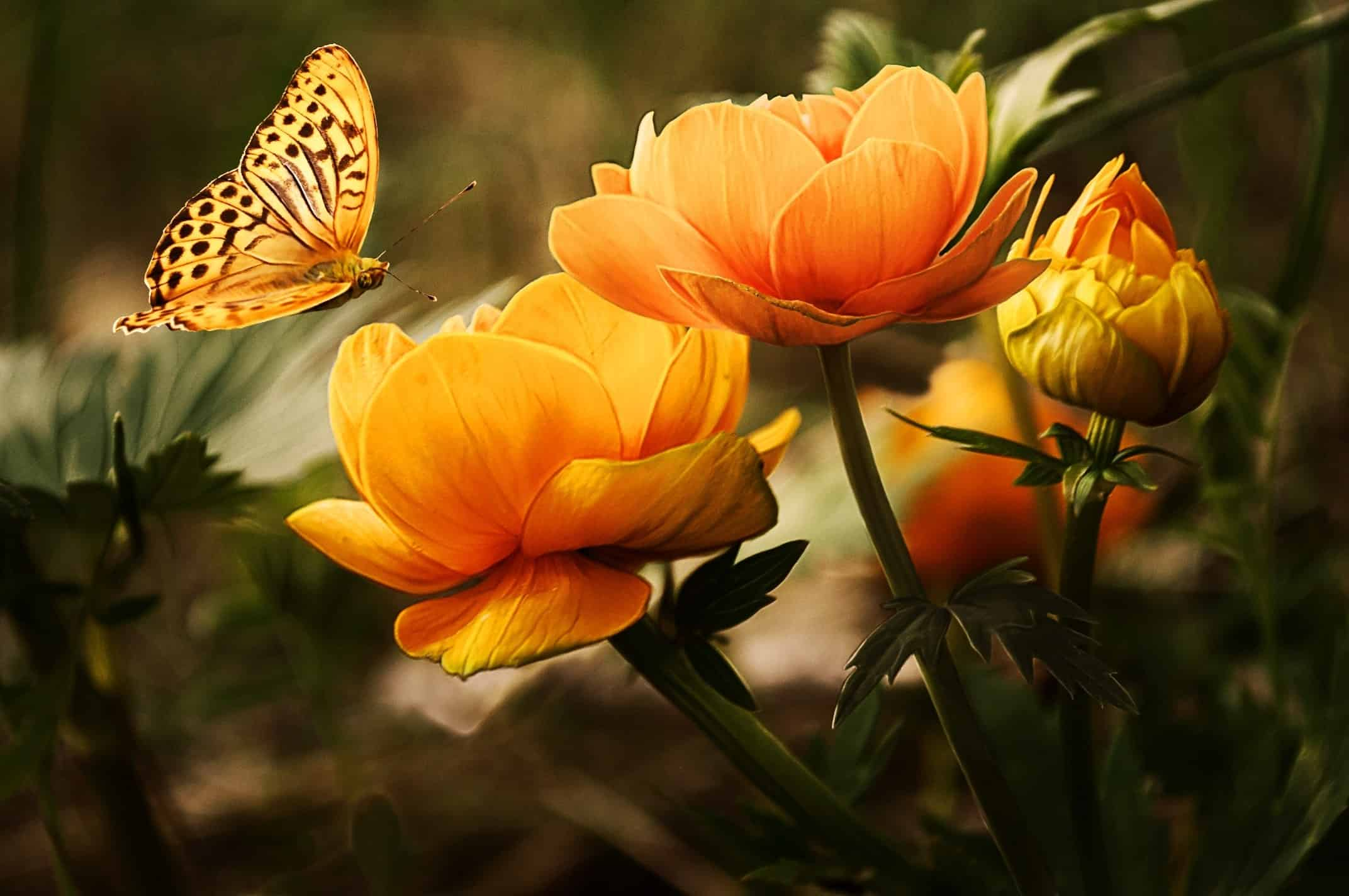 Schmetterling auf orangener Bluete