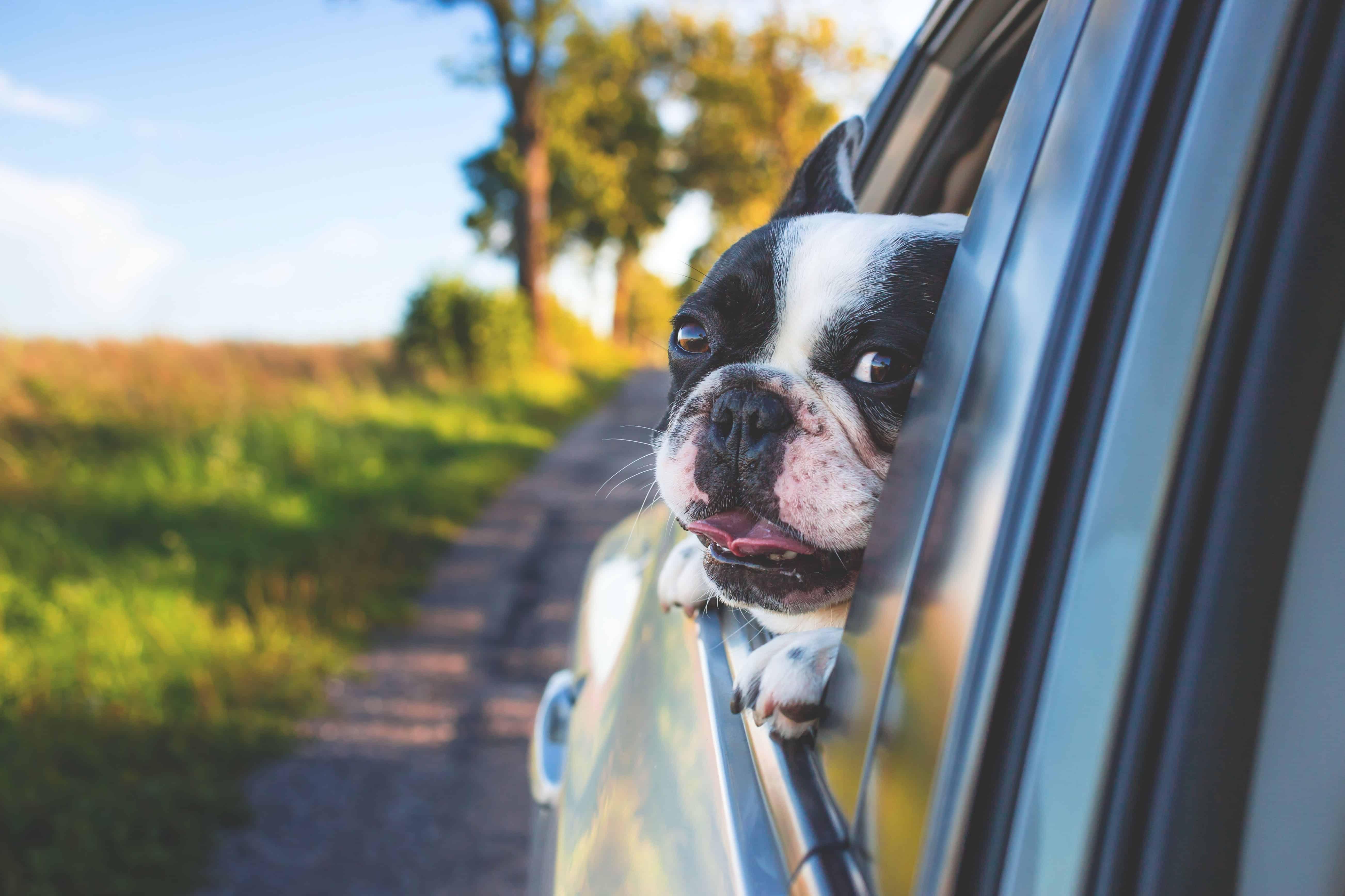 schwarz-weißer Hund guckt aus Autofenster